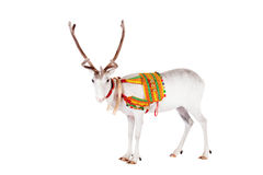 Reindeer or caribou wearing traditional harness. Reindeer wearing traditional harness, Rangifer tarandus, on white Stock Photo