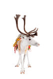 Reindeer or caribou wearing traditional harness. Reindeer wearing traditional harness, Rangifer tarandus, on white Royalty Free Stock Photo