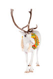Reindeer or caribou wearing traditional harness Stock Photo