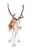 Reindeer or caribou wearing traditional harness. Reindeer wearing traditional harness, Rangifer tarandus, on white Royalty Free Stock Image