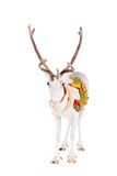 Reindeer or caribou wearing traditional harness. Reindeer wearing traditional harness, Rangifer tarandus, on white Royalty Free Stock Photography