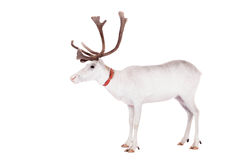 Reindeer or caribou, on the white background. Reindeer, Rangifer tarandus, 4 years old, on the white background Stock Images