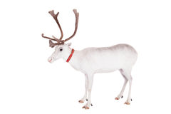 Reindeer or caribou, on the white background. Reindeer, Rangifer tarandus, 4 years old, on the white background Stock Photography