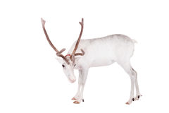 Reindeer or caribou, on the white background Stock Photos