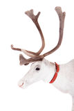 Reindeer or caribou, on the white background. Reindeer, Rangifer tarandus, 4 years old, on the white background Stock Photos