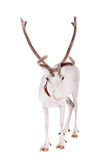 Reindeer or caribou, on the white background. Reindeer, Rangifer tarandus, 4 years old, on the white background Royalty Free Stock Photography