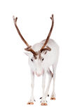 Reindeer or caribou, on the white background. Reindeer, Rangifer tarandus, 4 years old, on the white background Stock Image