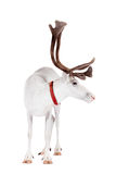 Reindeer or caribou, on the white background Stock Photography