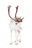 Reindeer or caribou, on the white background. Reindeer, Rangifer tarandus, 4 years old, on the white background Stock Photo