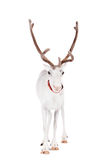 Reindeer or caribou, on the white background. Reindeer, Rangifer tarandus, 4 years old, on the white background Royalty Free Stock Images