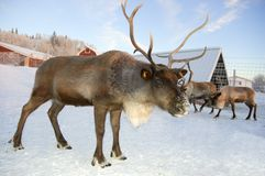 Reindeer challenge Stock Photo