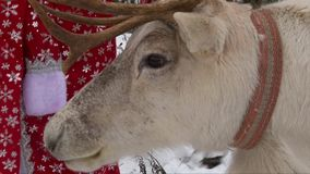 Reindeer chewing head, closeup shop. Reindeer close up head and face, chewing mouth, Santa Claus costume stock footage
