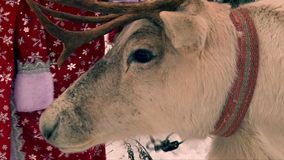 Reindeer chewing on Santa Claus costume background, closeup. Shot stock footage
