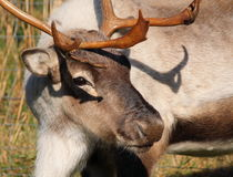 Reindeer close up Stock Image