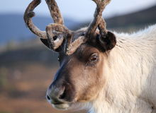 Reindeer close up Stock Photo