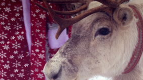 Reindeer close up head and face, chewing mouth, Santa Claus costume on background. Reindeer close up head and face, chewing mouth, Santa Claus costume stock footage