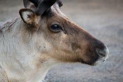 Reindeer close up. Reindeer portrait close up view Royalty Free Stock Photos