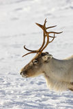 Reindeer close up Stock Photo