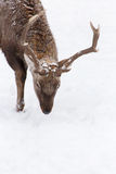 Reindeer. Close up of reindeer's head walking on the snow Stock Photos