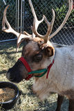 Reindeer. A closeup of a reindeer with a holiday colored halter Stock Images