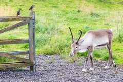 reindeer in corral and common starling on fence Stock Image