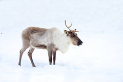 Reindeer. The reindeer costs in snow stock image