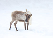 The reindeer costs on a snow-covered glade Stock Photos