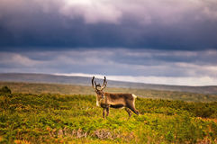 Reindeer in countryside stock photography