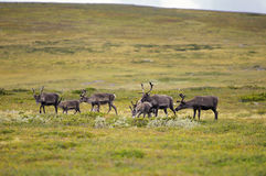 Reindeer in countryside Stock Image