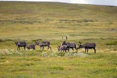 Reindeer in countryside Stock Image