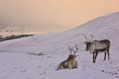 Reindeer cow and calf in Scotland. Reindeer cow and calf roaming free in the Cairngorm mountains, Scotland Stock Image
