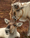 Reindeer cow and calf in Scotland. Reindeer cow and calf roaming free in the Cairngorm mountains, Scotland Royalty Free Stock Image