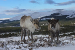Reindeer cow and calf in Scotland. Reindeer cow and calf roaming free in the Cairngorm mountains, Scotland Stock Images