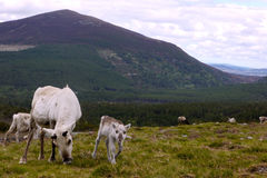 Reindeer cow and calf in Scotland. Young reindeer calf with its mother in the Cairngorm mountains, Scotland Stock Photos