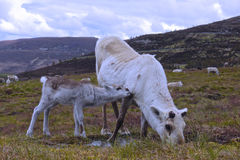 Reindeer cow and calf in Scotland. Young reindeer calf sniffing its mother in the Cairngorm mountains, Scotland Royalty Free Stock Image