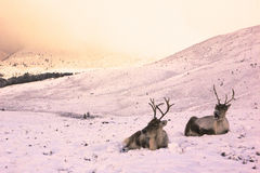 Reindeer cow and calf in the snow. Reindeer roaming free in the Cairngorm mountains, Scotland Royalty Free Stock Photography