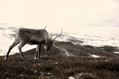 Reindeer cow in Scotland. Reindeer cow roaming free in the Cairngorm mountains, Scotland Royalty Free Stock Image