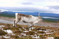 Reindeer cow in Scotland. Reindeer cow roaming free in the Cairngorm mountains, Scotland Stock Images