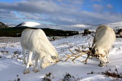 Reindeer cows fighting. In the Cairngorm mountains, Scotland Royalty Free Stock Images