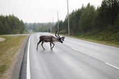 Reindeer Crossing Road Stock Photo