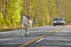 Reindeer crossing a road in Finland. Finnish landscape. Travel Stock Image