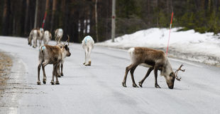 Reindeer crossing a road royalty free stock photos