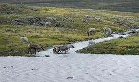 Reindeer crossing the stream Stock Photo