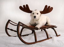 Reindeer dog. West Highland Terrier wearing reindeer antlers and sitting on antique snow sled Royalty Free Stock Images