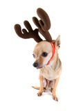 Reindeer dog Stock Photos