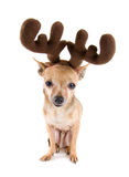 Reindeer dog Stock Images