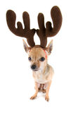 Reindeer dog Royalty Free Stock Images