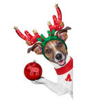 Reindeer dog. Behind a blank banner with a christmas ball Royalty Free Stock Photography