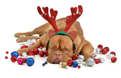 Reindeer dog with Christmas baubles Stock Photography