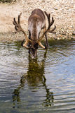 Reindeer drinking at river. Reindeer drinking at the edge of a river, fully reflected Royalty Free Stock Image